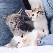 Kittens - TassieCat