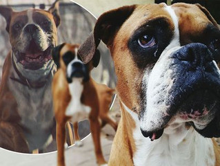 John Lewis Christmas advert sparks surge in people wanting boxer dogs  But a charity has warned that