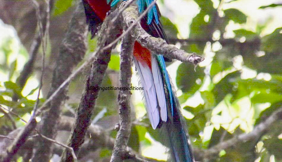 Resplendent Quetzal 01.jpg