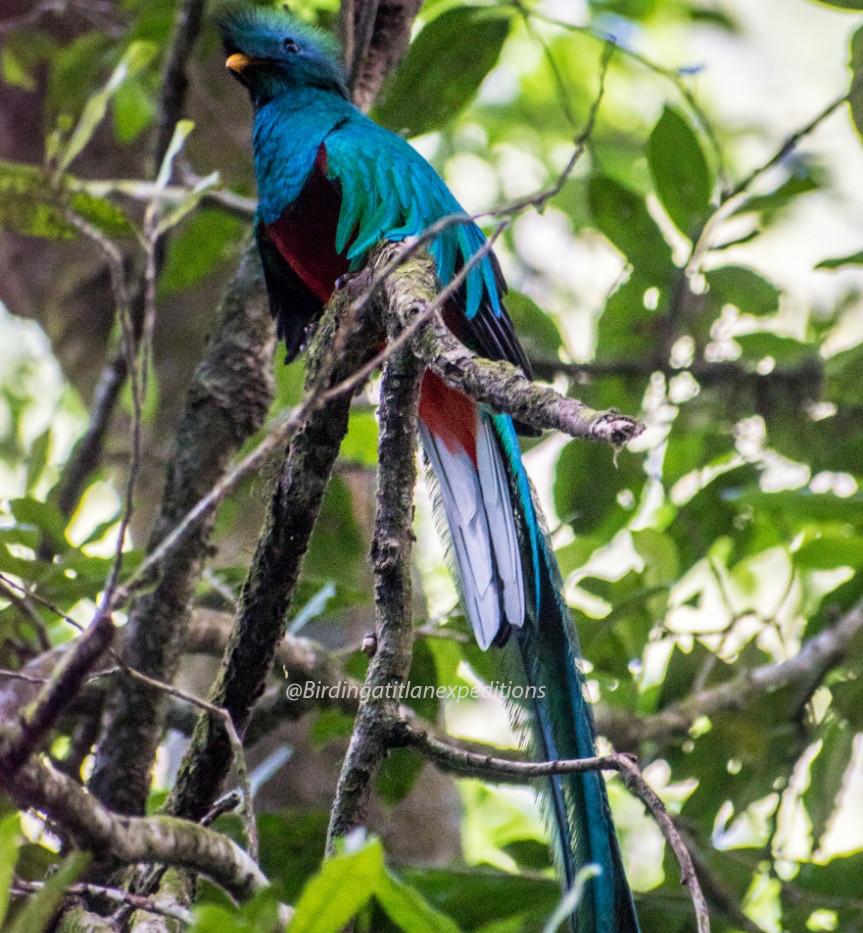 Resplendent Quetzal 4.jpg