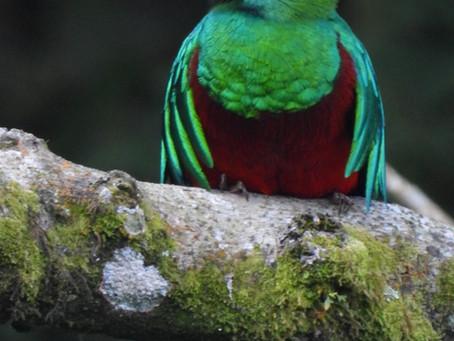 Quetzal Resplandeciente.