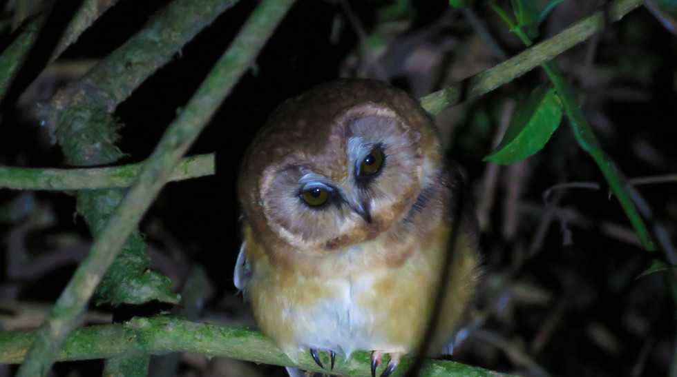 Unspotted Saw-whet Owl..jpg