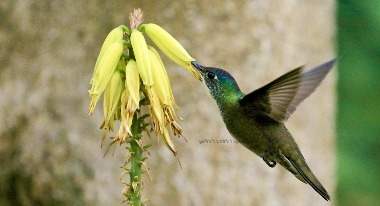 Azure-crowned Hummingbird.jpg