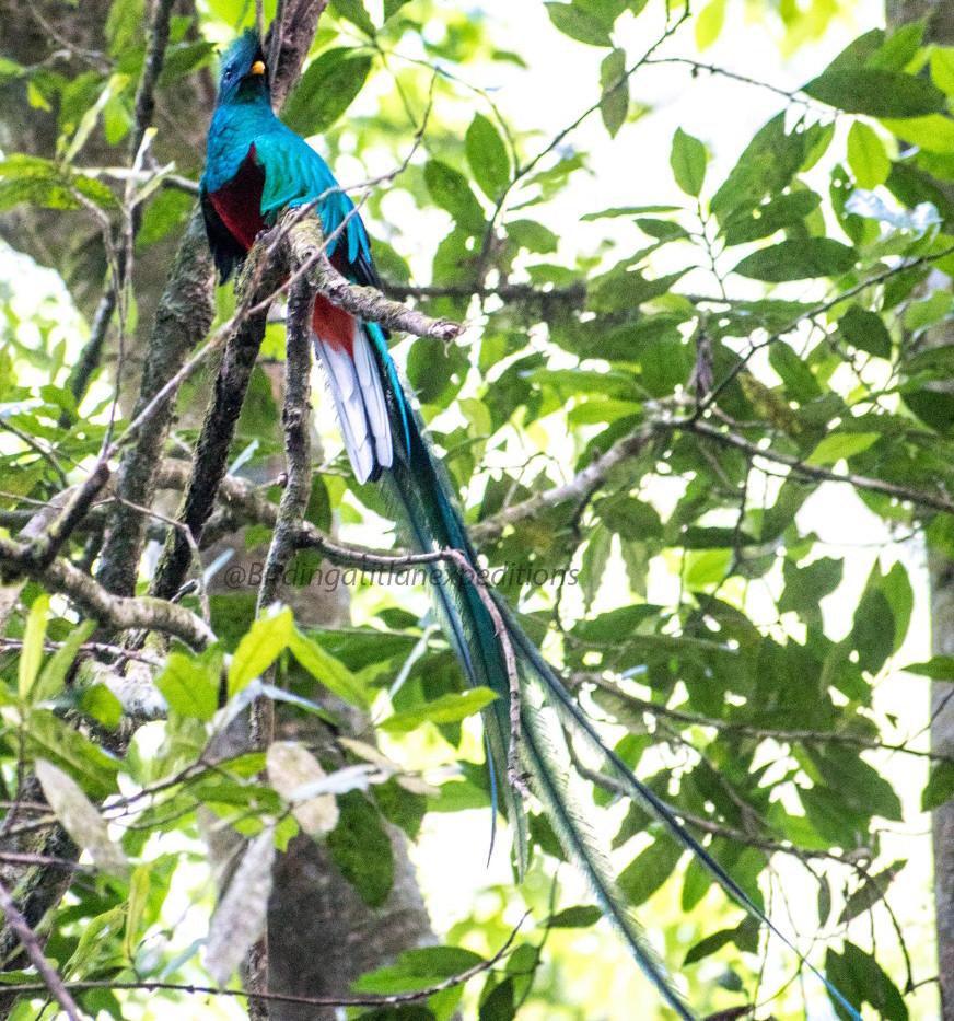 Resplendent Quetzal 2 .jpg