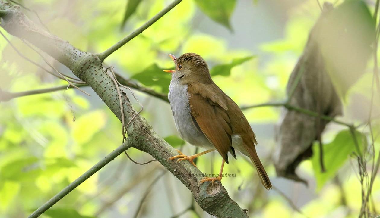 Orange-billed Nightingale-Thrush.jpg