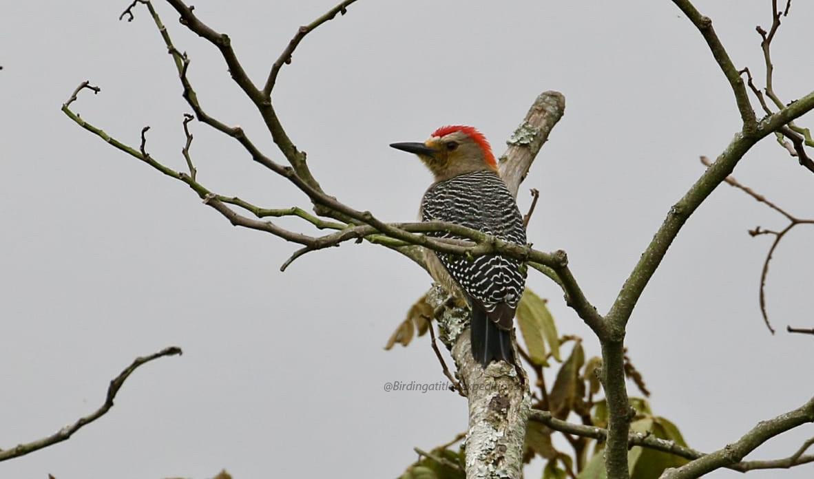 Golden-fronted Woodpecker.jpg