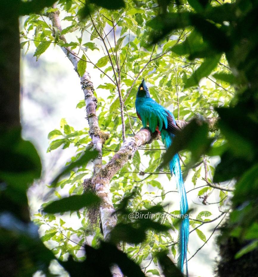 Resplendent Quetzal 3.jpg