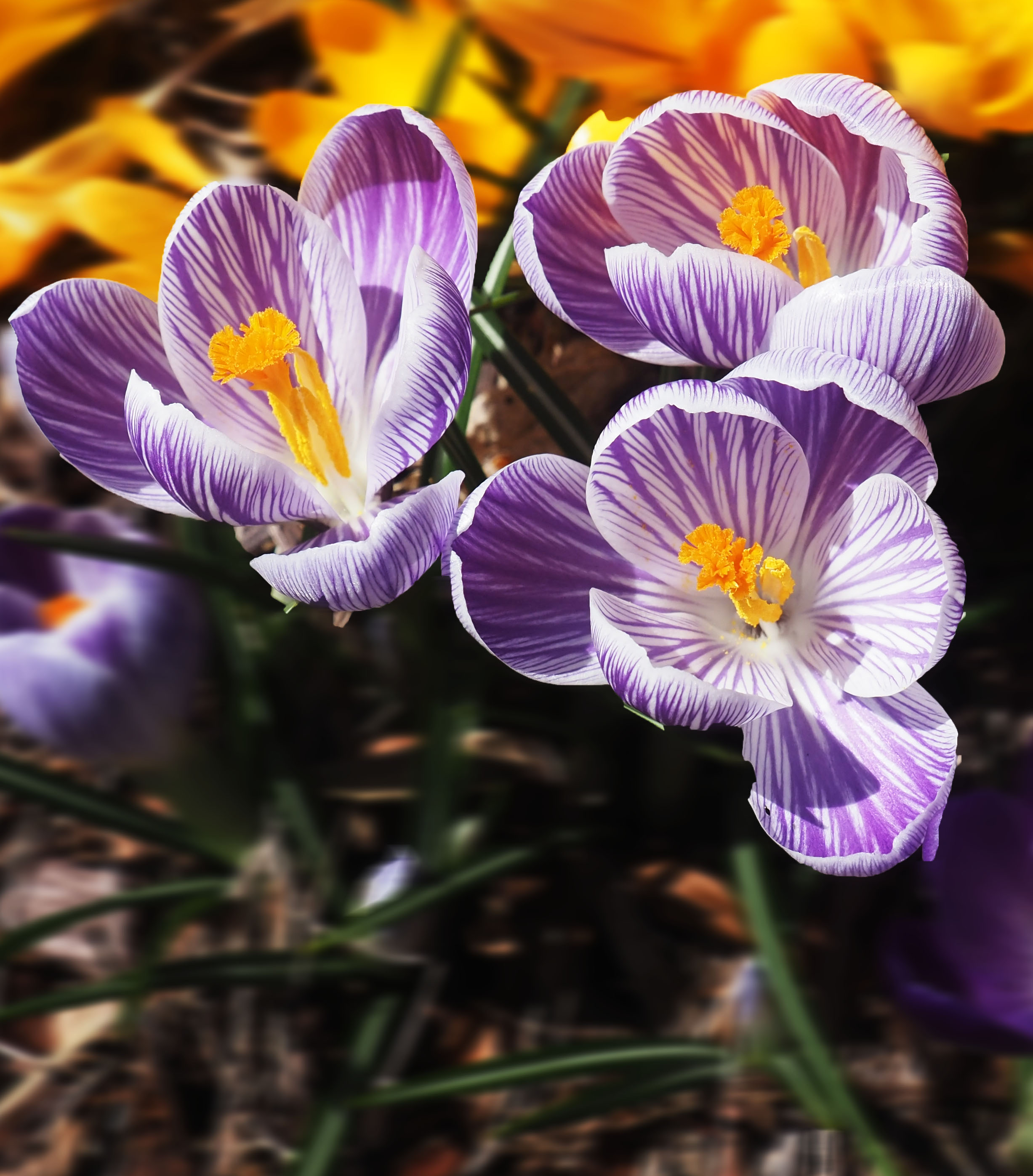 Three Crocus