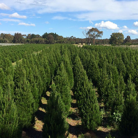 CHRISTMAS TREE FARM TREE PHOTO.jpg