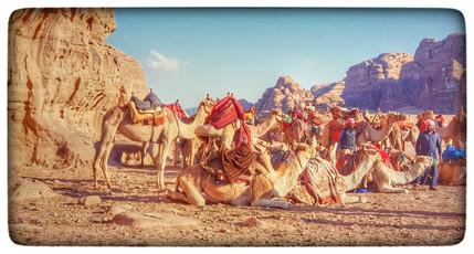 Jordan camels
