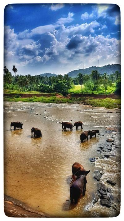 Sri lanka elepahnts