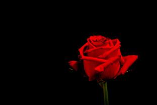 omer regev photographer black rose