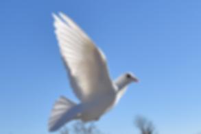 single flying white dove