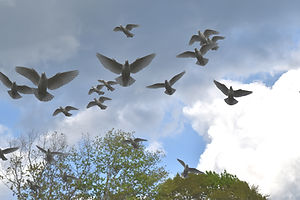 flock of white doves