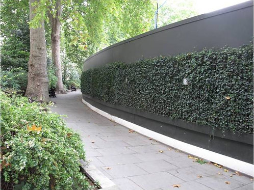 LiveFence - 6' Spanish Canary Ivy (Indoor)
