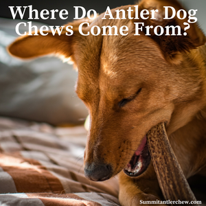 Antler Dog Chews Come From Wild Happy Elk and Deer