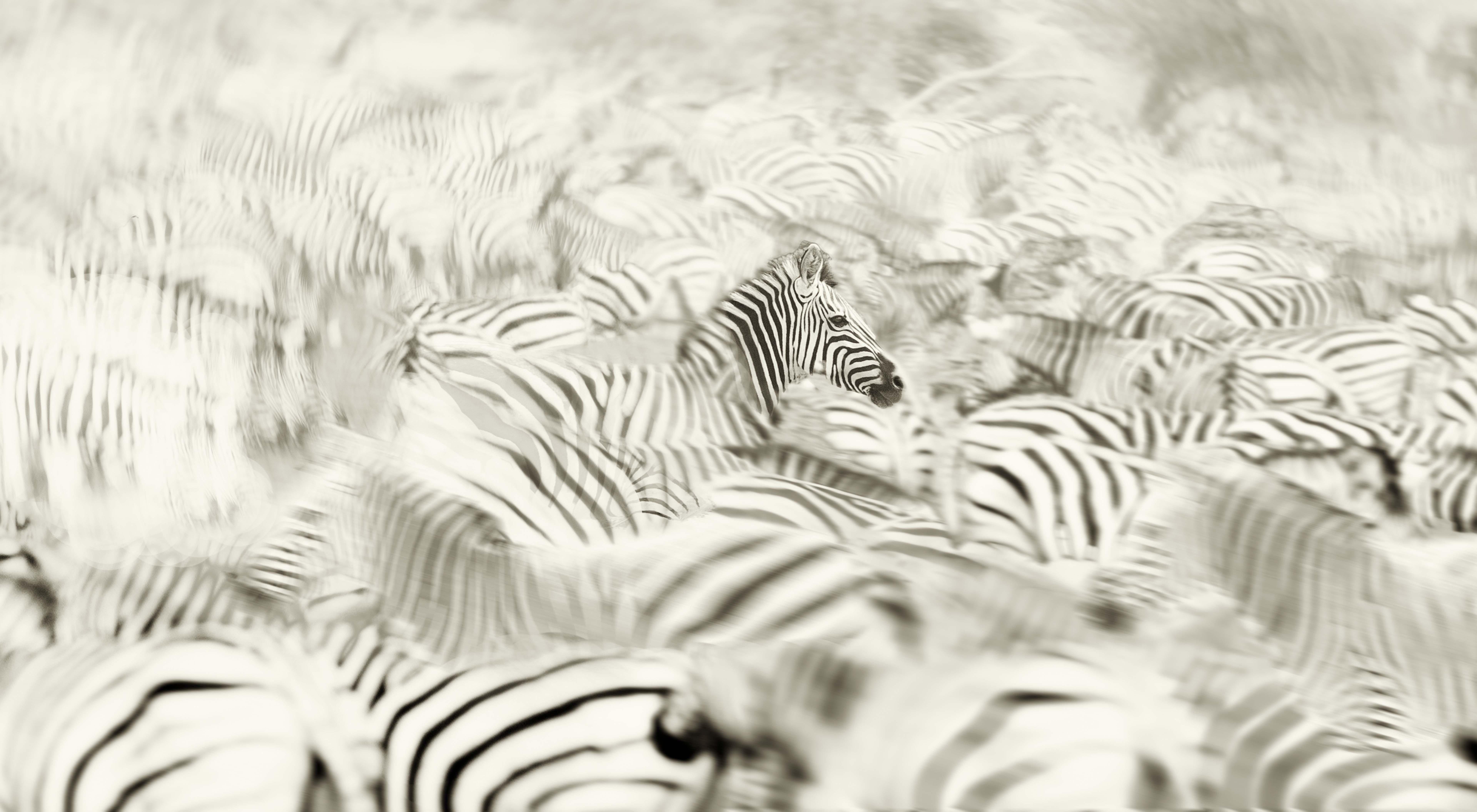Zebras mov