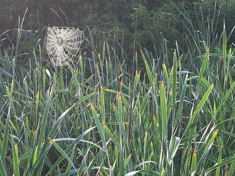HSchultz spider web.jpg