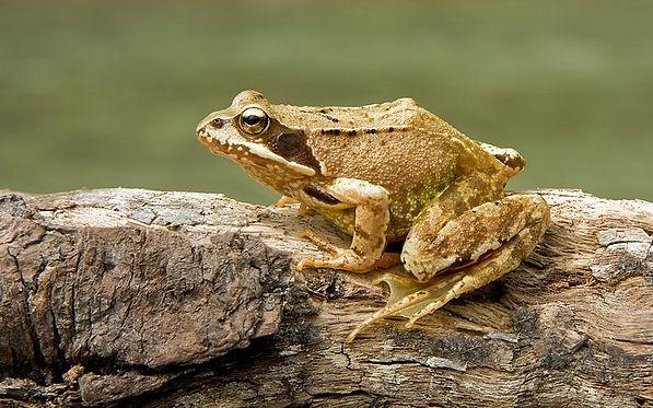 European_Common_Frog_Rana_temporaria.jpg