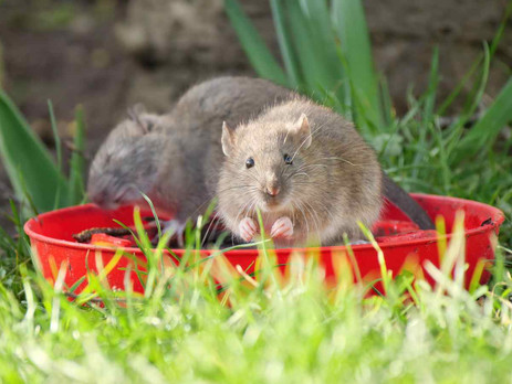 Not everyone's cup of tea but an enjoyable new wildlife photography subject! (Rats)