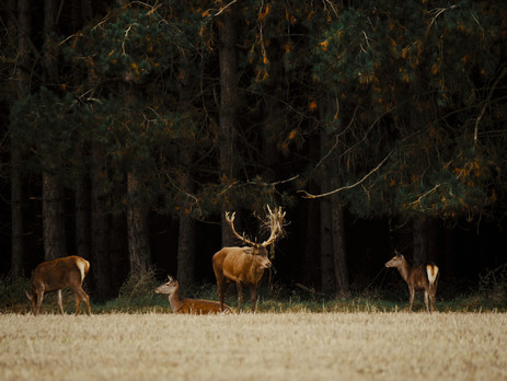 Five Tips for photographing wild Deer.