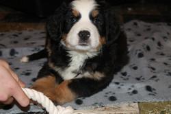 puppy Berner Sennen