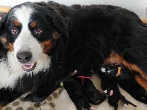 Mayla is bevallen van 5 prachtige pups!