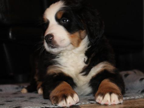 Binnenkort puppy's!