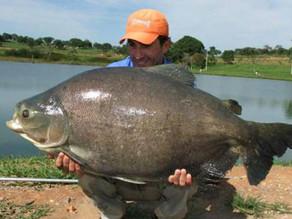 Fazenda Pacu - Uma pescaria com muitos peixes fisgados