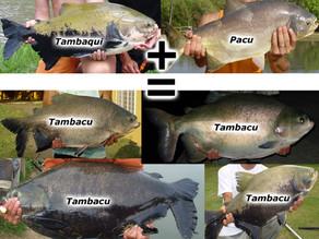 Redondos – Você sabe a diferença entre Tambaqui, Tambacu e Pacu ?