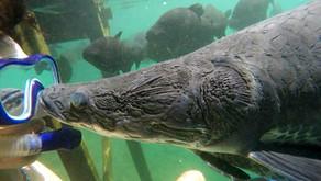 Um mergulho com os Pirarucus para entender sua alimentação