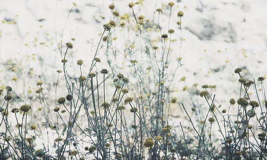 top_herb_german_chamomile.jpg