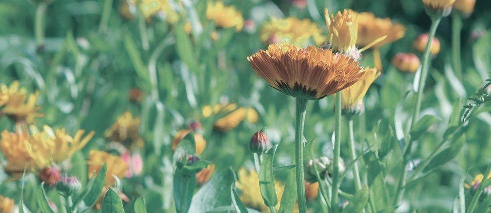 top_herb_calendula.jpg