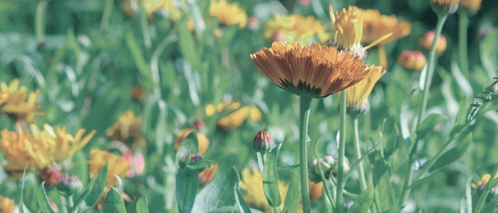 top_herb_calendula.jpg