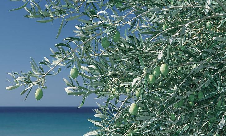 top_herb_olive.jpg