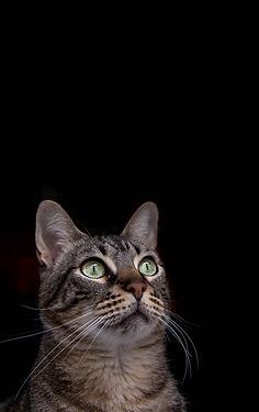 alt cat, gato, fotografia mascota sevilla, fototografía Sevilla, fotografo sevilla