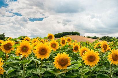 Sunflower 1a.jpg