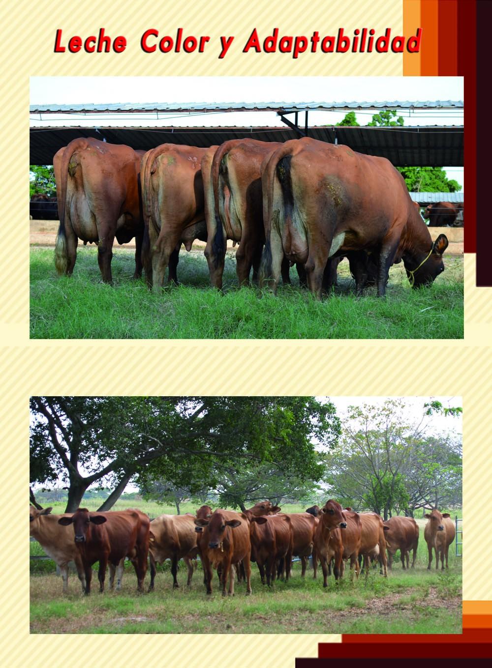 Vacas Tipo JR-1.jpg