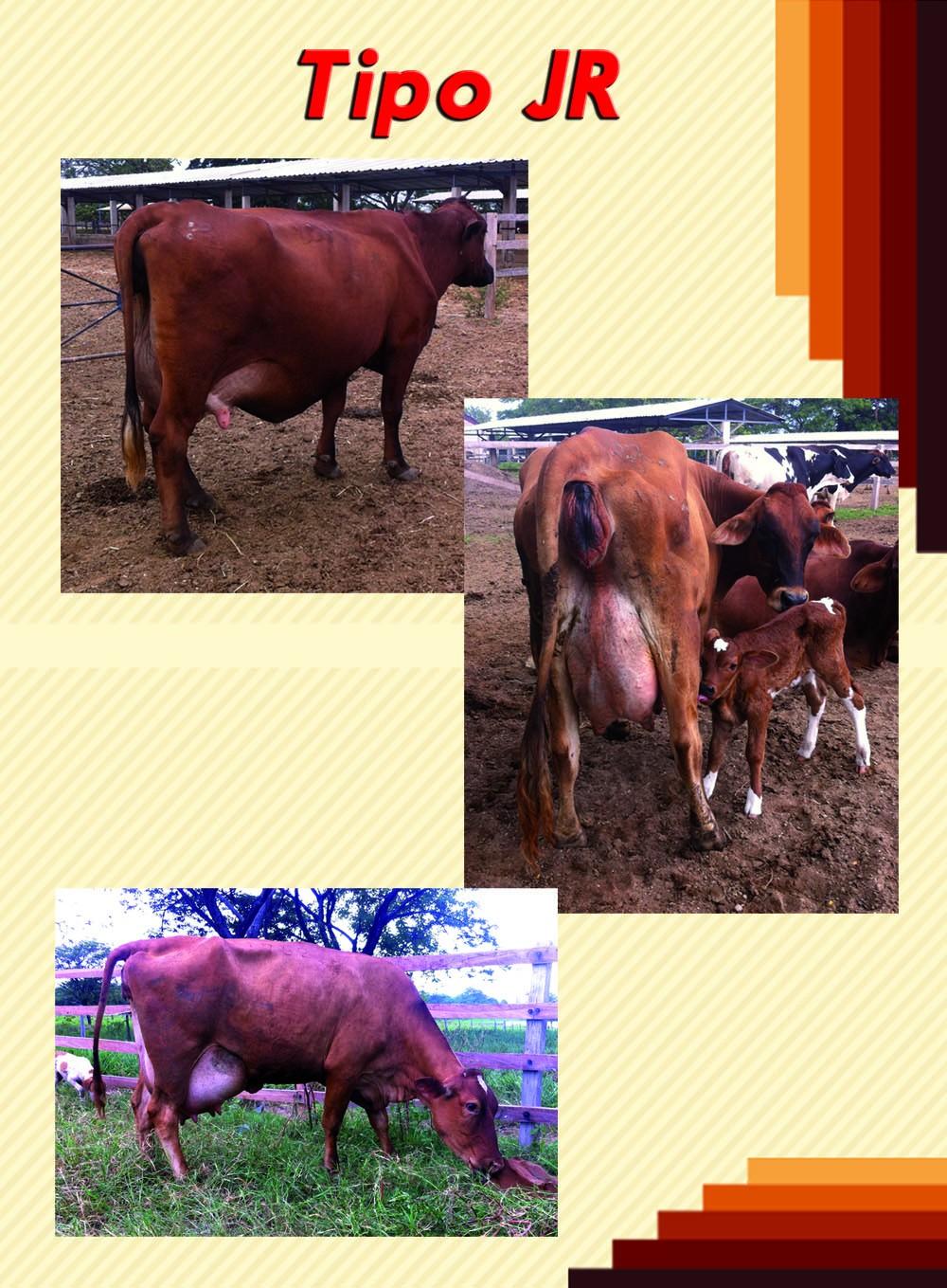 Vacas Tipo JR.jpg