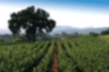 vijgenboom wijngaard.jfif