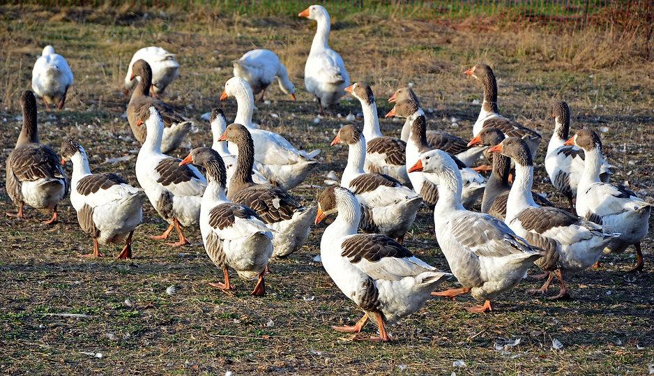 geese-3806885_1920.jpg