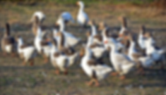 geese-3806885_1920 Fehler.png