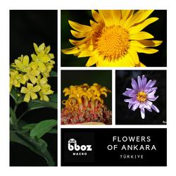 Ankaranın Çiçekleri