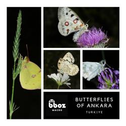 Ankaranın Kelebekleri