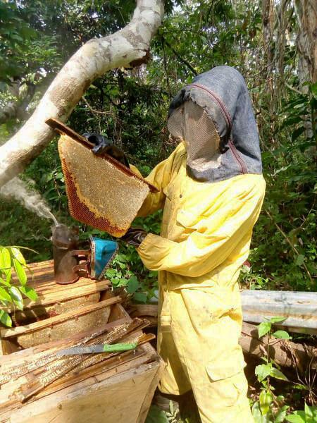 New beekeeper pulling comb