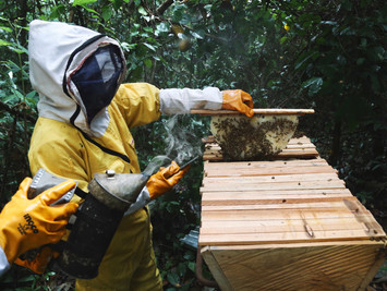 Smoking the hive and checking frames