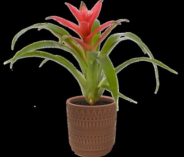 Bromeliad X Moroccan