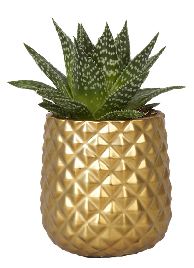 Succulent X Pineapple