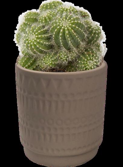 Cacti X Moroccan