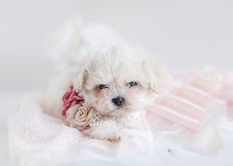 maltipoo poodle puppies